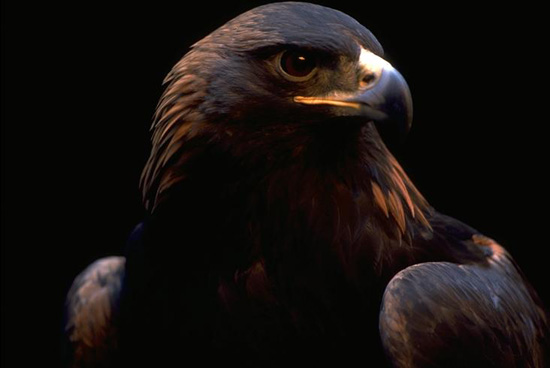 Golden Eagle (captive), OR